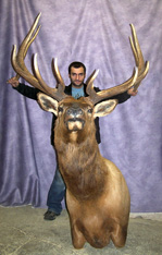 Huge Canadian  Elk Shoulder Mount